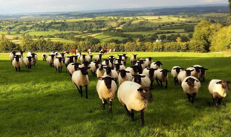 a flock sheep on a green hill