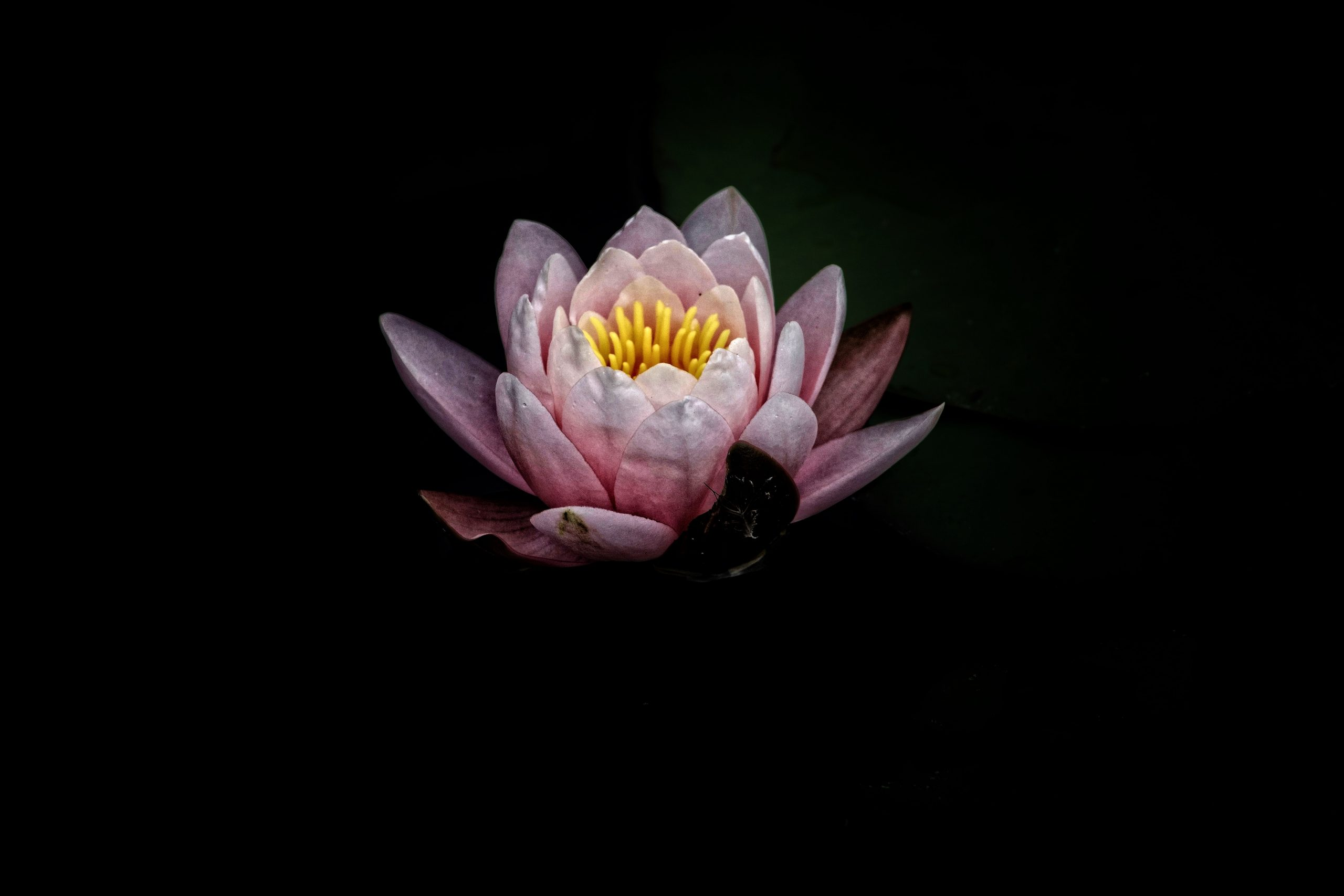 Image of pink lotus flower against a black background.