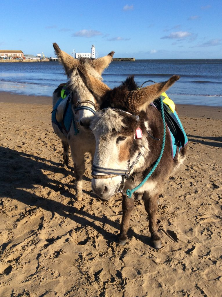 Two very cute cream and brown donkeys on a sunny Scarborough beach.
