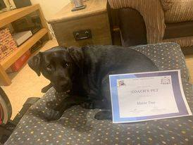 Black lab guide dog Maisie lies on a footstool with her 'Coaches Pet' certificate.